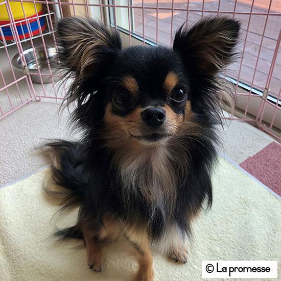 犬の保育園生 チワワ