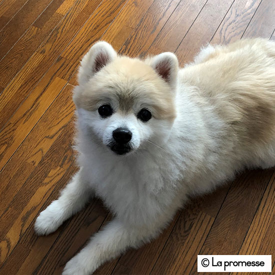 犬の保育園生 ポメラニアン