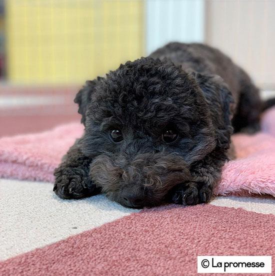 犬の保育園生 トイプーパピー