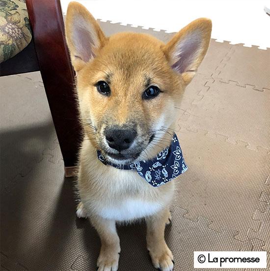 犬の保育園生 柴パピー