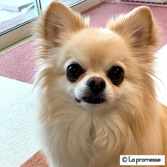 犬の保育園 生徒さん チワワ