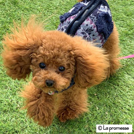 犬の保育園 生徒さん トイプー